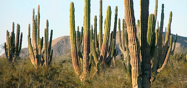 Valley of the Giants (cactuses), San Felipe