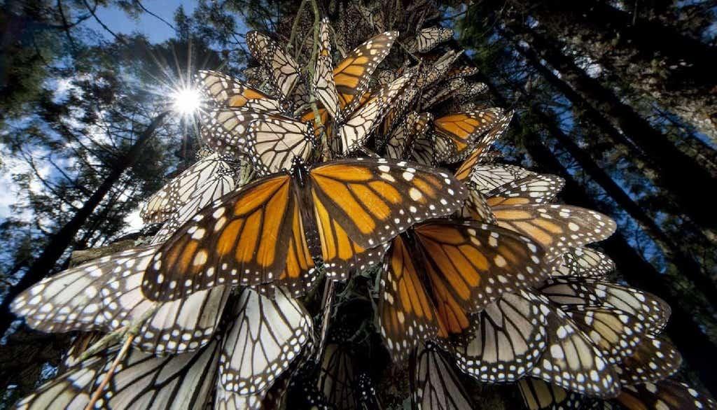 Visita las Mariposas Monarca en Angangueo