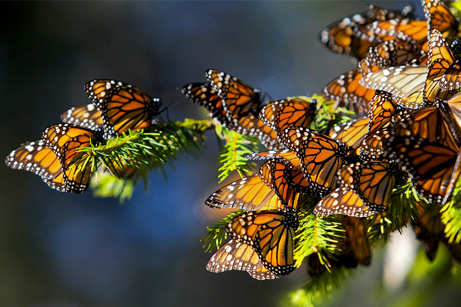 monarch-butterflies-migrate-to-central-mexico-2