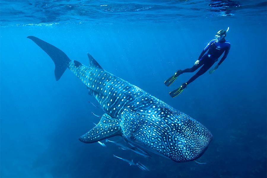 g1-tiburon-ballena