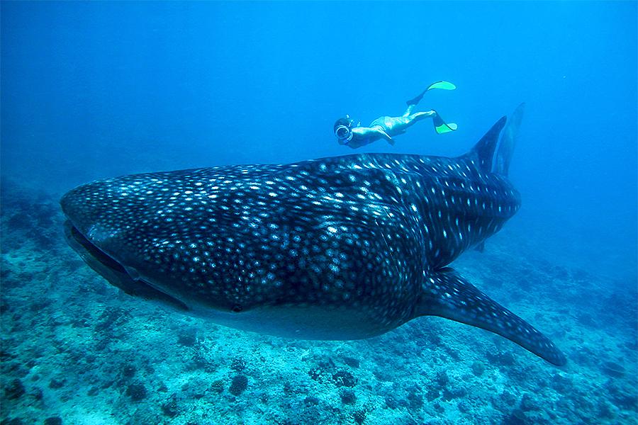 g1b-tiburon-ballena